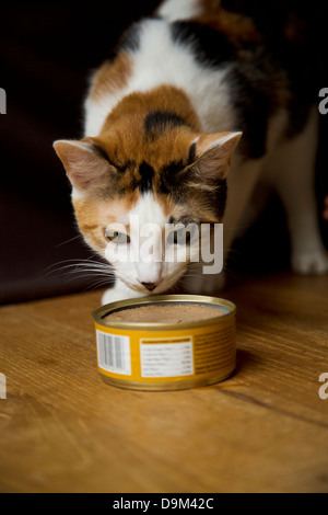 Calico cat sniffing cat food in a can - Stock Image