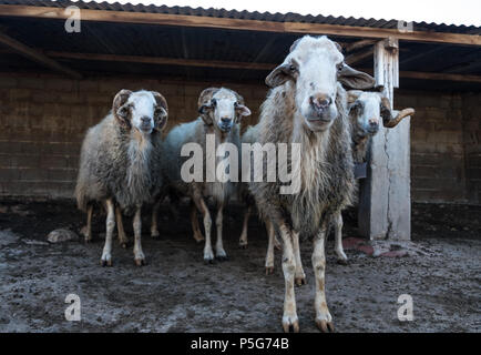 Four Male Rare rescued male mountain sheep ( Provato ) in their pen, Probably the Oldest Living, Saronida, East Attica, Greece. - Stock Image