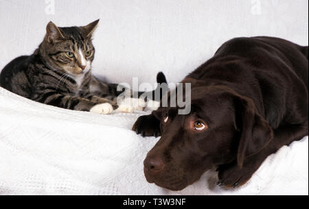 liver labrador sitting with tabby cat and looking cheesed off - Stock Image