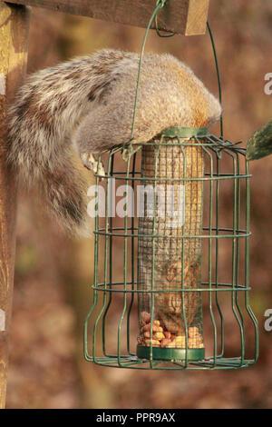 Squirrel inside a bird feeder, eating peanuts. Sciurus carolinensis. - Stock Image