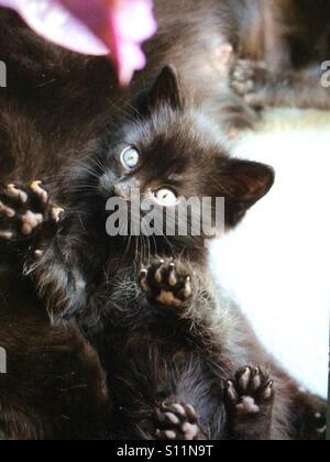Black kitten - Stock Image