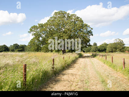 Sycamore tree in summer, acer pseudoplatanus, near Woodhall Manor, Sutton, Suffolk, England, UK - Stock Image
