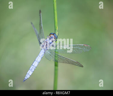 Male Keeled Skimmer dragonfly clinging to a reed stem - Stock Image
