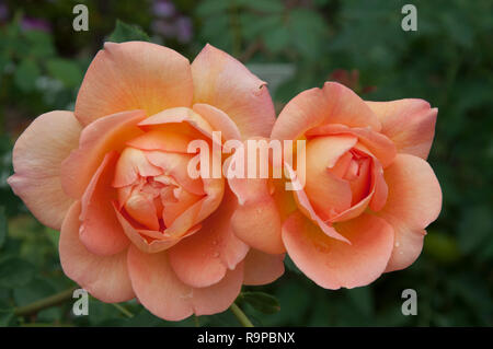 'Just Joey' cultivar tea rose by David Austin in a Melbourne garden - Stock Image