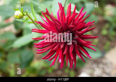 Dahlia cactus Nuit d' Eté growing in a border of a  garden in Cornwall on late summers day - Stock Image