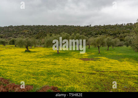 Countryside landscape with olive trees grove in spring season with colorful blossom of wild yellow flowers - Stock Image