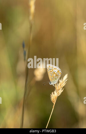 Common Blue butterfly (Polyommatus icarus) perched on a golden grass seed head during early summer sunset - Stock Image