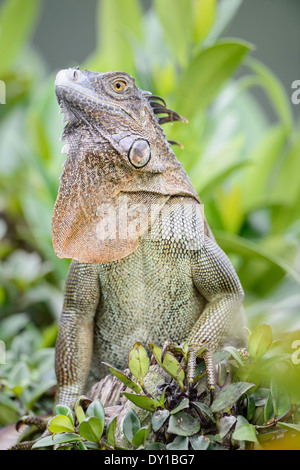 A green iguana displays at Tortuguero National Park in Costa Rica. - Stock Image