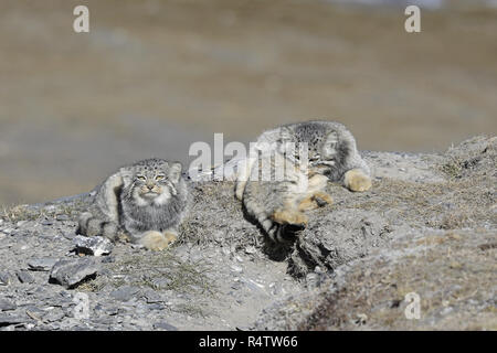 Two Pallas's Cats; one grooming - Stock Image