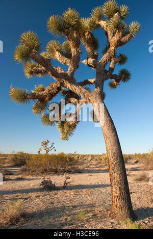 Joshua tree (Yucca brevifolia) growing in Joshua Tree National Park, California, USA - Stock Image