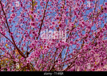 A peach tree bloomed in spring. - Stock Image