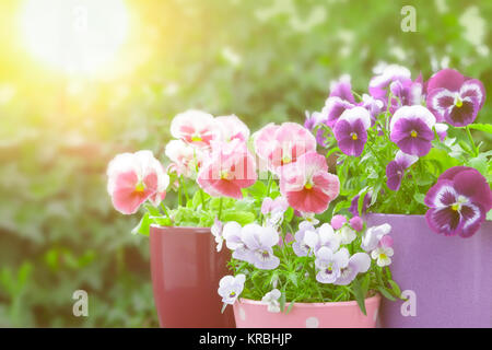 purple lilac red pansies sunlight - Stock Image