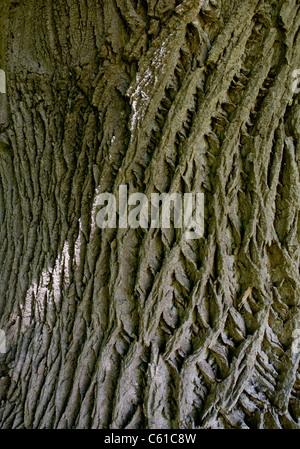 Detail of the bark of the Tulip Tree (Liriodendron tulipitera) - Stock Image