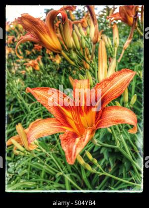Tiger lily flower bed. - Stock Image