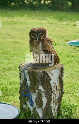 wood owl - Stock Image