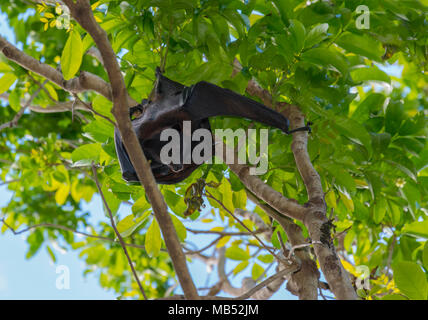 Black Flying Fox Camp, Brisbane, Queensland, Australia - Stock Image