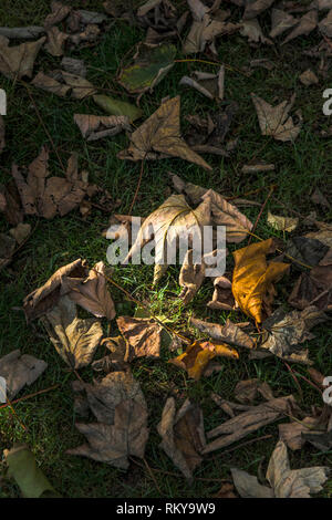 Dead Sycamore Acer leaves lying on the ground at the start of the Autumn season. - Stock Image