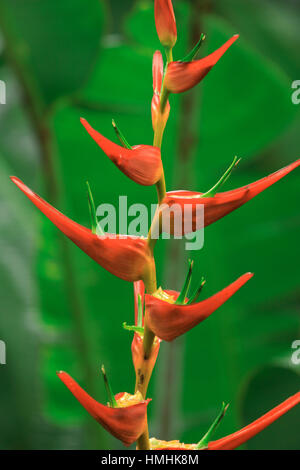 Heliconia latispatha, La Selva Biological Station, Lowland Rainforest, Caribbean slope, Costa Rica - Stock Image