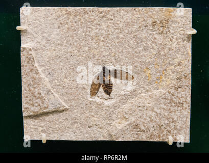 Fossil imprint of a bee. The Field Museum. Chicago, Illinois, USA. - Stock Image