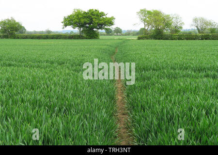 Footpath shown leading across a field of grass near the north Oxfordshire village of Hook Norton - Stock Image