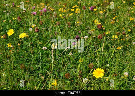 Wildflowers in the gardens at the Hylands Estate, House and Gardens, Chelmsford, Essex, UK - Stock Image