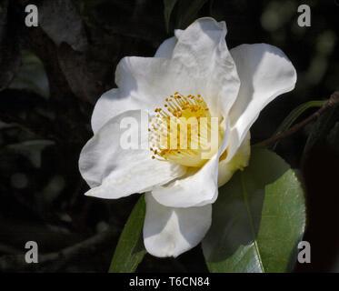 Camellia Alba Simplex - Stock Image