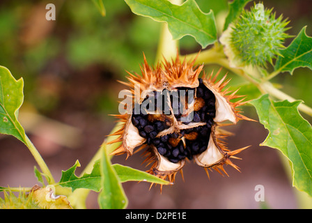 Fruit of Datura stramonium L, also known as Jimsonweed, Jimson Weed, Thornapple, Thorn Apple. Open seed pod/head. - Stock Image