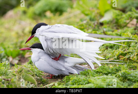 Arctic Terns, Sterna paradisaea mating on the Farne Islands, Northumberland, UK. - Stock Image