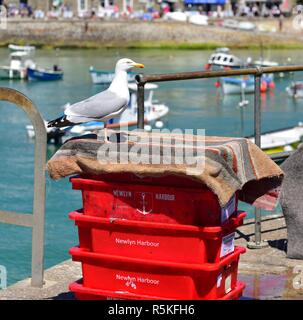 Sea Gull standing on top of red crates full of fishing bait, in St ives Harbour,England,UK - Stock Image