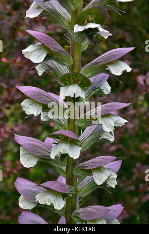 Acanthus spinosus in close up of a cottage garden - Stock Image