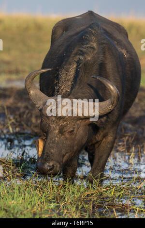 Cape buffalo (Syncerus caffer) with immature yellowbilled oxpecker, Chobe, Botswana, September 2018 - Stock Image