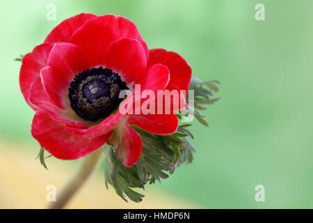 a single red anemone flower on green still life - fragile beauty in the language of flowers   Jane Ann Butler Photography - Stock Image