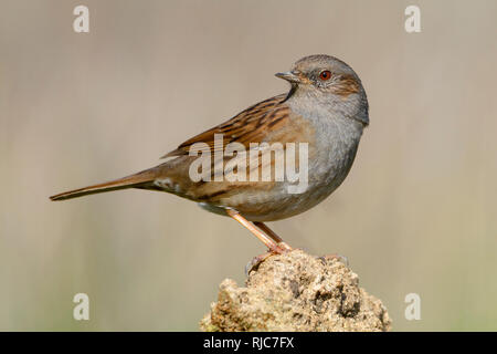 Dunnock, Adult perched on a stone, Campania, Italy (Prunella modularis) - Stock Image