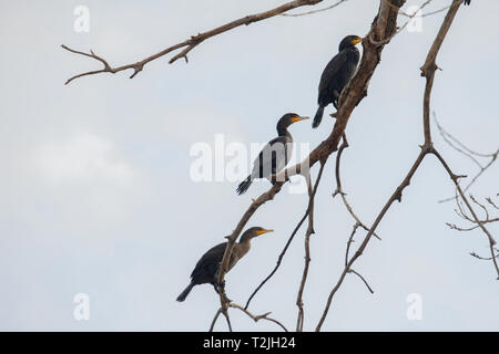 Three Double-crested cormorants perched on a branch closeup. Kansas, USA - Stock Image