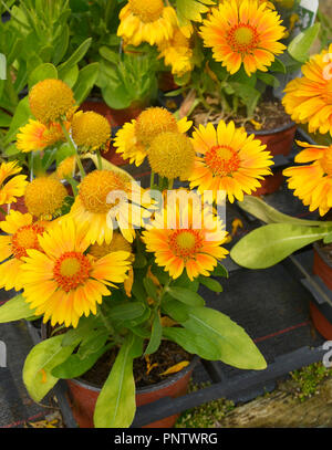 Close up of a potted Gaillardia 'Arizona Apricot' ready for planting - Stock Image