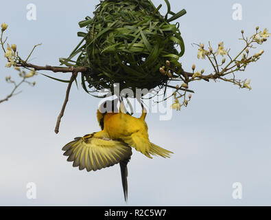 A male village weaver (Ploceus cucullatus) also known as the spotted-backed weaver or black-headed weaver displays to females below its newly created - Stock Image
