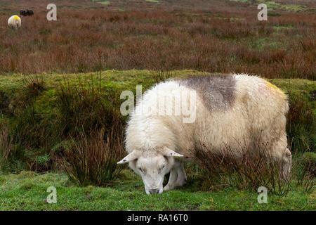Sheep with markings on Valentia Island County Kerry, Ireland - Stock Image