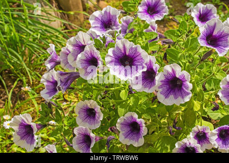 Purple and white petunias growing in a garden in north east Italy. - Stock Image