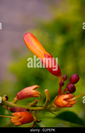 Slowly Opening Trumpet Vine / Trumpet Creeper Flower Bud - Campsis radicans (Bignoniaceae). Also known as Cow Itch - Stock Image