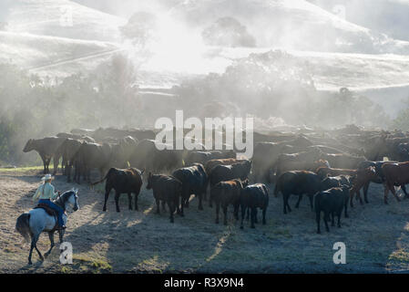 USA, California, Parkfield, V6 Ranch roping cowgirl with a herd of cows (MR) - Stock Image