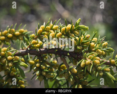 Budding flowers on a Junipers communis, the common juniper on Rambergoya, an island in the Oslo fjord Norway - Stock Image