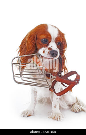 Dog with muzzle. Avoid bite snapper dogs. Cavalier king charles spaniel dog photo. Beautiful cute cavalier puppy - Stock Image