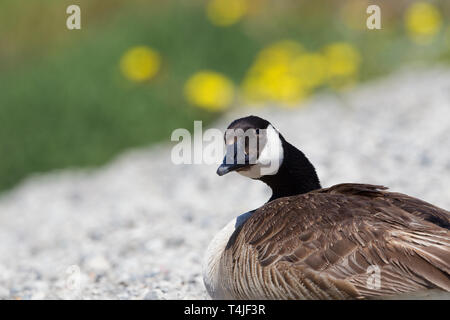 Canada Goose Closeup Portrait with Yellow Flowers in Background - Stock Image