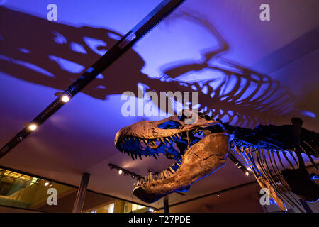 Newcastle-upon-Tyne, NE England city. The Great North Museum, formerly the Hanock Museum and Hatton Gallery. Palaeontology, plesiosaur skeleton recons - Stock Image