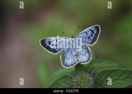Large blue Female at rest on plant stalk Hungary June 2015 - Stock Image