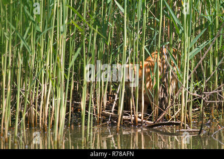 Domestic cat, orange tabby, hunting in the reeds, Saxony-Anhalt, Germany - Stock Image