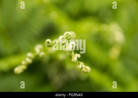 A macro photograph of a fern growing in Dartmoor National Park - Stock Image