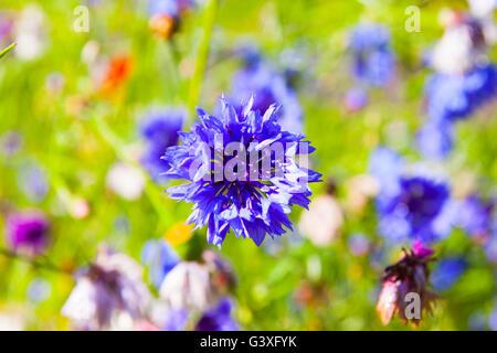 Purple Cornflower - Stock Image
