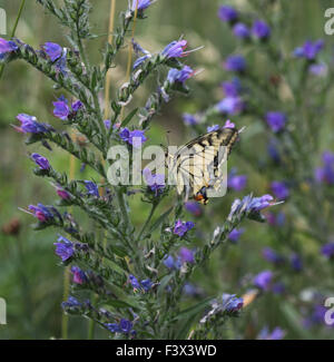 Swallowtail Feeding on vipers bugloss Hungary June 2015 - Stock Image