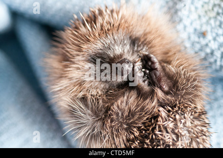 A hedgelet found on the road is taken care off - Stock Image